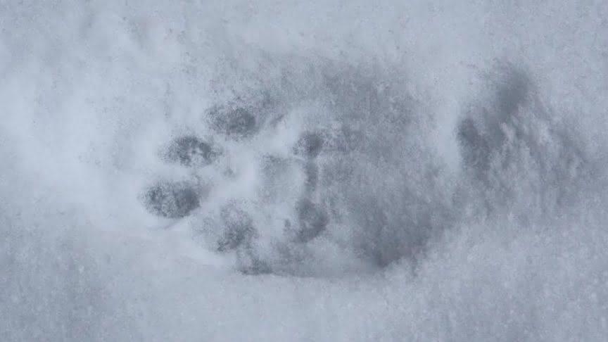 След оленя на снегу